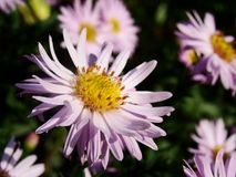 Asters roses Photographie stock