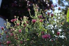 Asters roses dans le jardin image stock