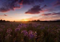 Asters sauvages sur le champ au coucher du soleil Image stock