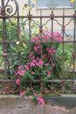 Asters. Seen in a garden of a church in Mannheim Stock Photos