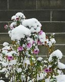 Asters in snow. Starry-shaped perennial asters of the fall garden covered with fresh snow Stock Photos