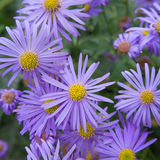 Asters square background Royalty Free Stock Photo