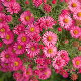 Asters square background Stock Photos