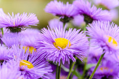 Asters with thin violet petals. Dense shrub aster with thin violet petals Stock Photos