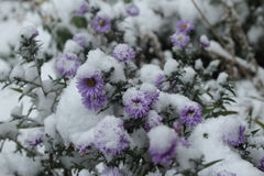 Asters under snow. Purple asters covered by the first snow Royalty Free Stock Photos