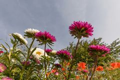 Asters view form a worms eye Royalty Free Stock Photo