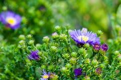 Asters violets Photo libre de droits