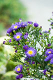Asters violets Photos libres de droits