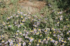 Asters violets photo stock