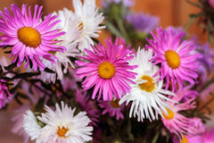 Asters Royalty Free Stock Images