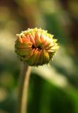 Asteru kwiat Obrazy Stock