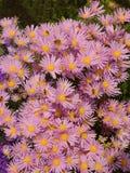 Asteru kwiatu flowerbed zdjęcia stock