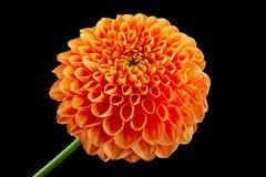 Asteru kwiatu głowy zbliżenie Fotografia Stock