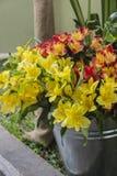Asthromelias - Alstroemeria - Astromelia blommor Royaltyfri Foto