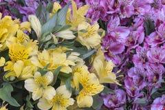 Asthromelias - Alstroemeria - Astromelia blommor Arkivfoton