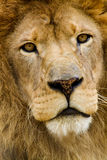 Astiatic Lion Stock Images