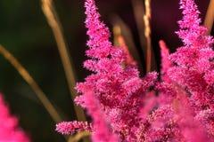 Astilba Fiore coltivato Fotografie Stock