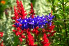 Astilba Flor del jardín Foto de archivo libre de regalías