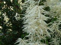 Astilbe с белым цветением в саде стоковое фото