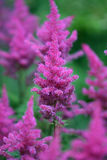 Astilbe. Colorful astilbe flowers blooming in summer time Royalty Free Stock Images