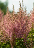 Astilbe Royalty Free Stock Images