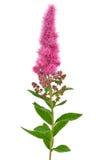 Astilbe flower. Isolated on white background Stock Photo