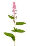 Astilbe flower Stock Image