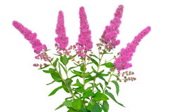 Astilbe flower Stock Image