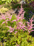 Astilbe flowers Royalty Free Stock Images