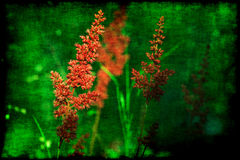 Astilbe grunge Royalty Free Stock Images