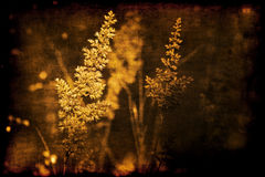 Astilbe grunge sepia Stock Photography