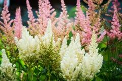 Astilbe kwiatów dorośnięcie w ogródzie obrazy stock