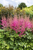 Astilbe plants in a herbaceous border. Stock Image