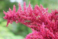 Astilbe red flower Royalty Free Stock Images