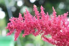 Astilbe red flower Stock Photo