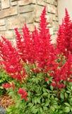 astilbe spirea fałszywy czerwony Fotografia Royalty Free