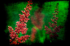 Astilbe vintage Royalty Free Stock Photos