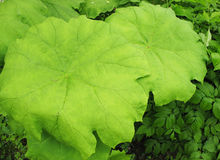 A  astilboides leaf  (Astilboides tabularis) Stock Photography