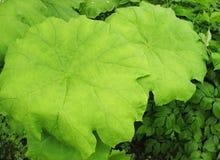 A  astilboides leaf  (Astilboides tabularis) Stock Photography