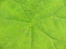 A  astilboides leaf  (Astilboides tabularis) Royalty Free Stock Image