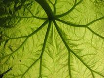 Astilboides tabularis Royalty Free Stock Images