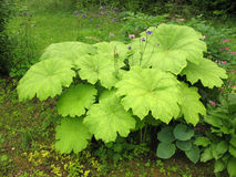 Astilboides tabularis on the shady flower bed Stock Images