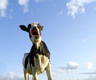 Astonished looking cow Royalty Free Stock Photos
