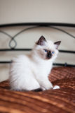 Astonished sacred birman cat sitting on bed Royalty Free Stock Images