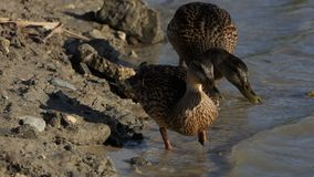 Two brown ducks seek food on a lake bank in summer. An astonishing view of two brown ducks seeking food on the lake bank in summer . The shining lake waters look stock footage