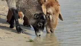 Two sheep drink water in a lake on a sunny day in slo-mo. An astonishing view of two sheep drinking water in a countryside lake on a sunny day in summer in slow stock footage