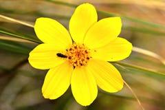 Astor giallo immagine stock libera da diritti