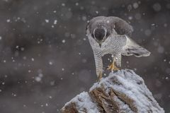 Astore che cammina attraverso la neve fotografie stock