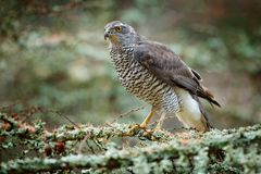 Astore nell'astore delle rapaci della foresta che si siede sul ramo nella foresta caduta del larice durante l'autunno Animale di  Fotografia Stock