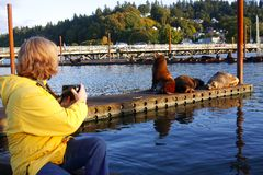 In Astoria Oregon sea lions. Stock Photography